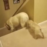 Diferencia entre perros y gatos – Bajar las escaleras